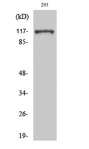 Fig. Western Blot analysis of various cells using Snrp116 Polyclonal Antibody.