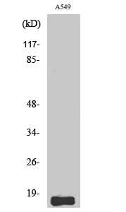Fig.2. Western Blot analysis of A549 cells using Somatostatin Polyclonal Antibody.