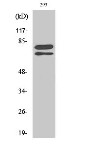 Fig. Western Blot analysis of various cells using Splicing factor 1 Polyclonal Antibody diluted at 1:500.