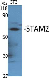 Fig. Western Blot analysis of various cells using STAM2 Polyclonal Antibody.