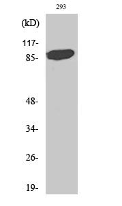 Fig. Western Blot analysis of various cells using Stat5a Polyclonal Antibody.