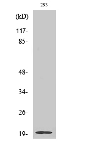 Fig. Western Blot analysis of various cells using Stathmin-3 Polyclonal Antibody.