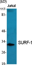 Fig.1. Western Blot analysis of various cells using SURF-1 Polyclonal Antibody.