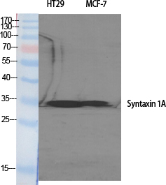 Fig. Western Blot analysis of various cells using Syntaxin 1 Polyclonal Antibody.