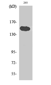 Fig. Western Blot analysis of various cells using TAB182 Polyclonal Antibody diluted at 1:1000.