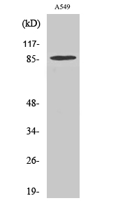 Fig. Western Blot analysis of various cells using TAF II p100 Polyclonal Antibody.