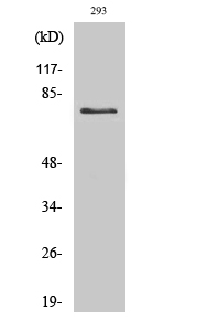 Fig. Western Blot analysis of various cells using Tau Polyclonal Antibody diluted at 1:500.