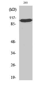 Fig.2. Western Blot analysis of 293 cells using TFIIIC102 Polyclonal Antibody.