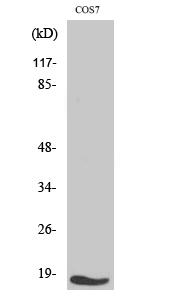Fig. Western Blot analysis of various cells using TGFα Polyclonal Antibody.