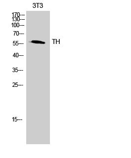 Fig.2. Western Blot analysis of 3T3 cells using TH Polyclonal Antibody.