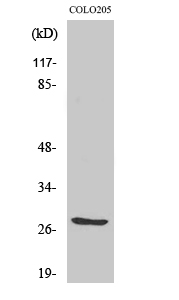 Fig.2. Western Blot analysis of 293 cells using TWEAK Polyclonal Antibody diluted at 1:2000. Secondary antibody (catalog#: A21020) was diluted at 1:20000.