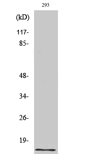 Fig. Western Blot analysis of various cells using Urotensin II Polyclonal Antibody. Secondary antibody (catalog#: A21020) was diluted at 1:20000.