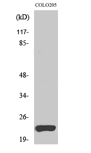 Fig. Western Blot analysis of various cells using VEGI Polyclonal Antibody. Secondary antibody (catalog#: A21020) was diluted at 1:20000.