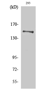 Fig. Western Blot analysis of various cells using YEATS2 Polyclonal Antibody. Secondary antibody (catalog#: A21020) was diluted at 1:20000.