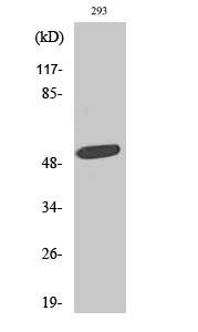 Fig. Western Blot analysis of various cells using ZAC1 Polyclonal Antibody. Secondary antibody (catalog#: A21020) was diluted at 1:20000.