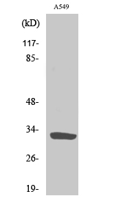 Fig. Western Blot analysis of various cells using ZIP9 Polyclonal Antibody. Secondary antibody (catalog#: A21020) was diluted at 1:20000.