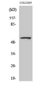 Fig. Western Blot analysis of various cells using ZNF682 Polyclonal Antibody. Secondary antibody (catalog#: A21020) was diluted at 1:20000.