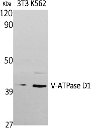 Fig. Western Blot analysis of extracts from NIH-3T3, K562 cells, using V-ATPase D1 Polyclonal Antibody. Secondary antibody (catalog#: A21020) was diluted at 1:20000.