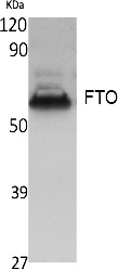 Fig. Western Blot analysis of extracts from K562 cells, using FTO Polyclonal Antibody. Secondary antibody (catalog#: A21020) was diluted at 1:20000.