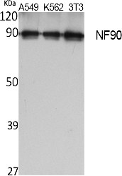 Fig. Western Blot analysis of extracts from A549, K562,  NIH-3T3 cells, using NF90 Polyclonal Antibody. Secondary antibody (catalog#: A21020) was diluted at 1:20000.