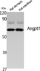 Fig. Western Blot analysis of extracts from rat stomach, rat intestines, using Angptl1 Polyclonal Antibody. Secondary antibody (catalog#: A21020) was diluted at 1:20000.