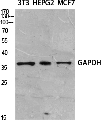 Fig. Western Blot analysis of various cells using GAPDH Polyclonal Antibody diluted at 1:2000. Secondary antibody (catalog#: A21020) was diluted at 1:20000.