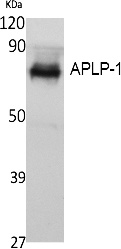 Fig.1. Western Blot analysis of extracts from K562 cells, using APLP-1 Polyclonal Antibody. Secondary antibody (catalog#: A21020) was diluted at 1:20000.