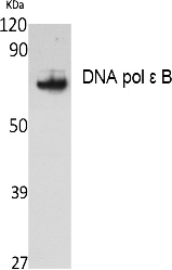 Fig. Western Blot analysis of extracts from Jurkat cells, using DNA pol ε B Polyclonal Antibody. Secondary antibody (catalog#: A21020) was diluted at 1:20000.