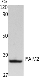 Fig. Western Blot analysis of extracts from Jurkat cells, using FAIM2 Polyclonal Antibody. Secondary antibody (catalog#: A21020) was diluted at 1:20000.