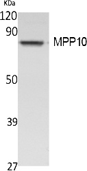 Fig. Western Blot analysis of extracts from Jurkat cells, using MPP10 Polyclonal Antibody. Secondary antibody (catalog#: A21020) was diluted at 1:20000.