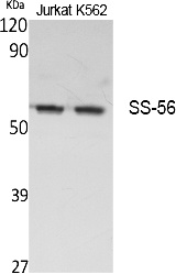 Fig.1. Western Blot analysis of extracts from Jurkat, K562 cells, using SS-56 Polyclonal Antibody. Secondary antibody (catalog#: A21020) was diluted at 1:20000.
