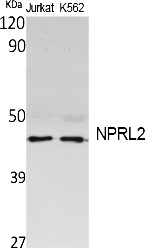 Fig. Western Blot analysis of extracts from Jurkat, K562 cells, using NPRL2 Polyclonal Antibody. Secondary antibody (catalog#: A21020) was diluted at 1:20000.