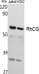 Fig.1. Western Blot analysis of extracts from Jurkat, K562 cells, using RhCG Polyclonal Antibody. Secondary antibody (catalog#: A21020) was diluted at 1:20000.