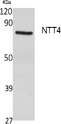 Fig. Western Blot analysis of extracts from rat stomach, using NTT4 Polyclonal Antibody. Secondary antibody (catalog#: A21020) was diluted at 1:20000.