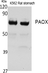 Fig.1. Western Blot analysis of extracts from rat stomach, K562 cells, using PAOX Polyclonal Antibody. Secondary antibody (catalog#: A21020) was diluted at 1:20000.