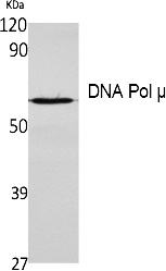Fig. Western Blot analysis of extracts from K562 cells, using DNA Pol μ Polyclonal Antibody. Secondary antibody (catalog#: A21020) was diluted at 1:20000.