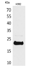 Fig.1. Western Blot analysis of K562 cells using LIF Polyclonal Antibody. Secondary antibody (catalog#: A21020) was diluted at 1:20000.