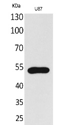 Fig.1. Western Blot analysis of U87 cells using Fractalkine Receptor Polyclonal Antibody. Secondary antibody (catalog#: A21020) was diluted at 1:20000.