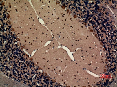 Fig.3. Immunohistochemical analysis of paraffin-embedded rat-brain, antibody was diluted at 1:100.