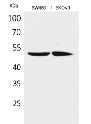Fig.1. Western Blot analysis of SW480, SKOV3 cells using HNF-4α/γ Polyclonal Antibody. Secondary antibody (catalog#: A21020) was diluted at 1:20000.