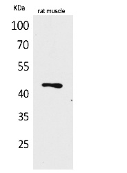 Fig.1. Western Blot analysis of rat muscle cells using KLF12 Polyclonal Antibody. Secondary antibody (catalog#: A21020) was diluted at 1:20000.