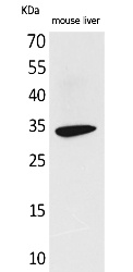Fig.1. Western Blot analysis of Mouse liver cells using Hepassocin Polyclonal Antibody. Secondary antibody (catalog#: A21020) was diluted at 1:20000.