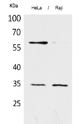 Fig. Western Blot analysis of hela, Raji cells using CD32 Polyclonal Antibody. Secondary antibody (catalog#: A21020) was diluted at 1:20000.