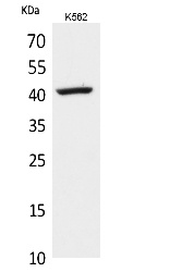 Fig.1. Western Blot analysis of K562 cells using L-Selectin Polyclonal Antibody. Secondary antibody (catalog#: A21020) was diluted at 1:20000.