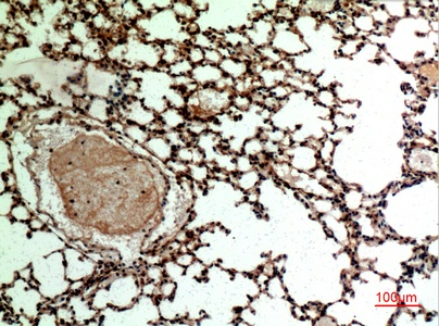 Fig.5. Immunohistochemical analysis of paraffin-embedded Mouse-lung, antibody was diluted at 1:100.