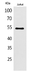 Fig.1. Western Blot analysis of Jurkat cells using MMP-12 Polyclonal Antibody. Secondary antibody (catalog#: A21020) was diluted at 1:20000.