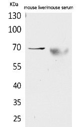 Fig.1. Western Blot analysis of Mouse liver, Mouse serum cells using AFP Polyclonal Antibody. Secondary antibody (catalog#: A21020) was diluted at 1:20000.