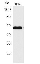 Fig.1. Western Blot analysis of hela cells using LXRα Polyclonal Antibody. Antibody was diluted at 1:500. Secondary antibody (catalog#: A21020) was diluted at 1:20000.