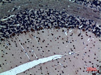 Fig.4. Immunohistochemical analysis of paraffin-embedded rat-brain, antibody was diluted at 1:100.