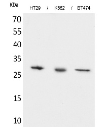 Fig. Western Blot analysis of HT29, K562,  BT474 cells using BRMS-1 Polyclonal Antibody. Secondary antibody (catalog#: A21020) was diluted at 1:20000.